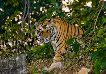 Wild tiger in the jungle. India. Bandhavgarh National Park. Madhya Pradesh. An excellent illustration.