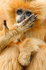 Orange monkey Northern white-cheeked gibbon Nomascus leucogenys, hand with long fingers before face, Vietnam