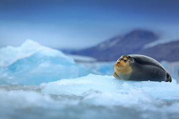 Bearded seal, lying sea animal on ice in Arctic Svalbard, winter cold scene with ocean, dark blurred mountain in the background, Norway