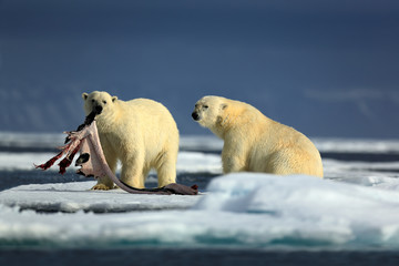 Pair polar bears with seal pelt after feeding carcass on drift ice with snow and blue sky in Arctic Svalbard