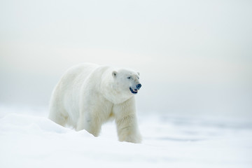 Polar bear on drift ice with snow, blurred nice yellow and blue sky  in background, white animal in the nature habitat, Russia