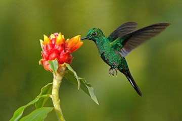 Green hummingbird Green-crowned Brilliant, Heliodoxa jacula, from Costa Rica flying next to beautiful red flower with clear background
