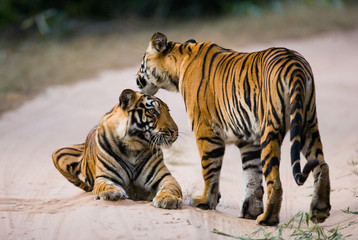 Two Bengal tiger on the road in the jungle. India. Bandhavgarh National Park. Madhya Pradesh. An excellent illustration.