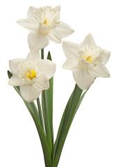 Photo sur Plexiglas Narcisse White narcissus closeup