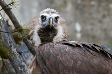Cinereous vulture raptorial bird, black vulture, a large bird of prey
