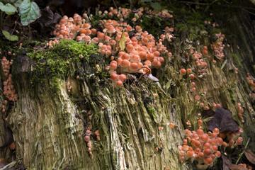 Fungus Brick cap (Hypholoma sublateritium) on a decaying tree stump