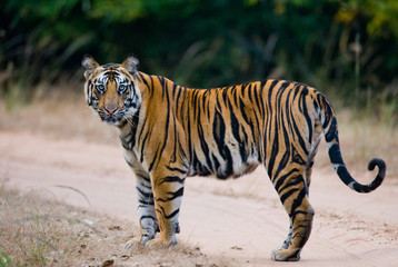Wild Bengal tiger standing on the road in the jungle. India. Bandhavgarh National Park. Madhya Pradesh. An excellent illustration.