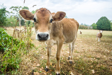 A cute curious calf with big ears and a big nose. In the background there is a sheep standing who is also paying some attention.