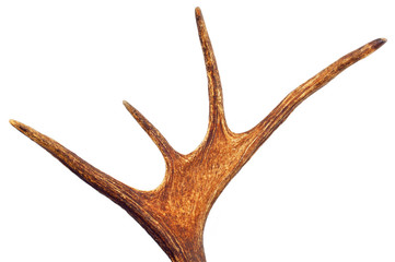 Deer Antlers isolated on white background