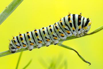 Swallowtail caterpillar 6 days old