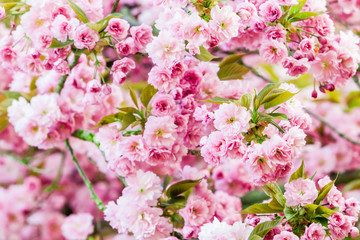 spring background. spring blossoming tree with pink background