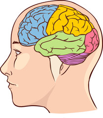 Brain anatomy diagram with sectioned in different colours and na