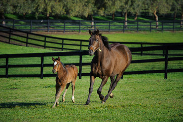 Mother and baby horse running through a fenced pasture