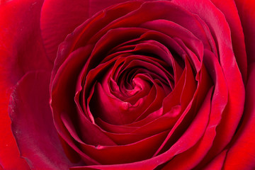 Dark red rose in macro scale