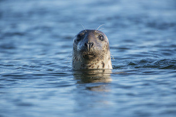 Common seal, head shot, swimming in the sea