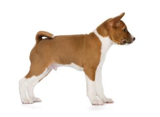 Fotobehang - Basenji puppy