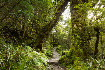 native beech forest, New Zealand