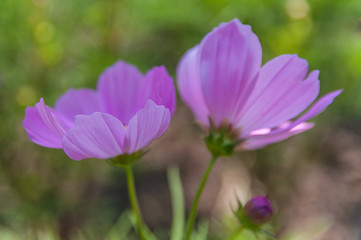cosmos flowers with selective focus