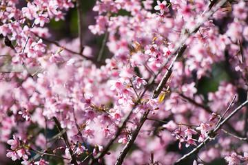 Pink sakura, Cherry blossom in Thailand.