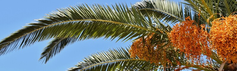 Close up of flowering Date Palm Tree