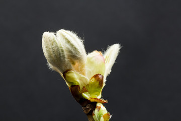 Chestnut blossoming bud isolated on black background with fine details