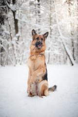 German shepherd dog doing a trick