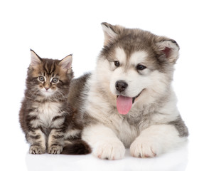 alaskan malamute dog and maine coon cat together. isolated on wh