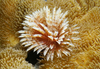 Marine worm surrounded by sea anemones