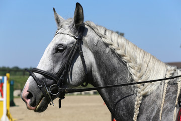 Side view portrait of grey horse with nice braided mane against