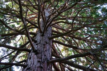 Pine on sky background