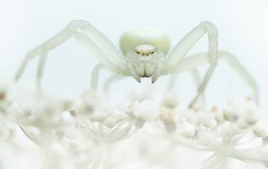 Goldenrod crab spider sitting on a white plant with white backgr