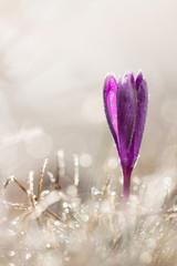 Freeze crocus flower in spring