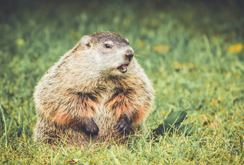Chubby and cute Groundhog (Marmota Monax) sitting up on grass and dandelion field with mouth open in vintage garden setting