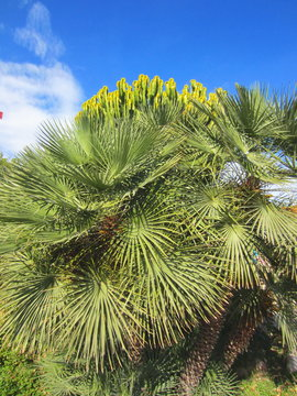 Mediterranean dwarf palm (Chamaerops humilis)