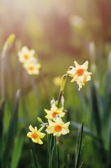 Yellow daffodil flowers in the garden in the sun.