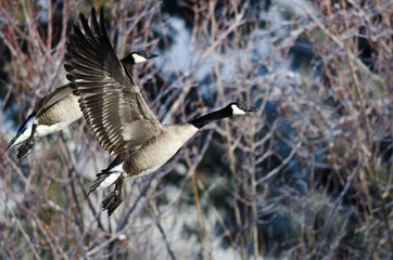 Pair of Canada Geese Flying Across the Snowy Winter Terrain