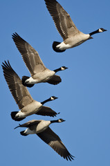 Canada Geese Flying in a Blue Sky