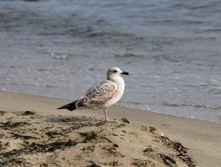 Птенец серебристой чайки на берегу моря