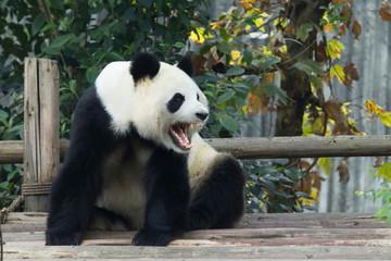 Panda Roaring