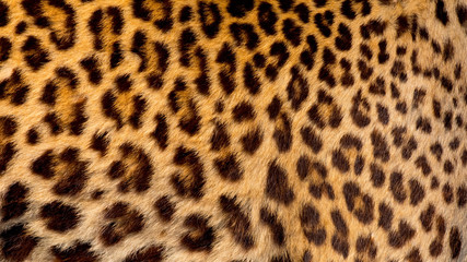 Photo sur Aluminium Leopard Real jaguar skin