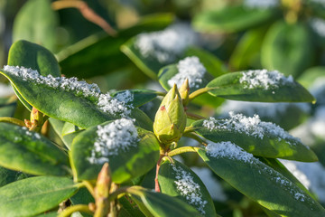 Close up of rhododendron leaves and bud in winter with snow