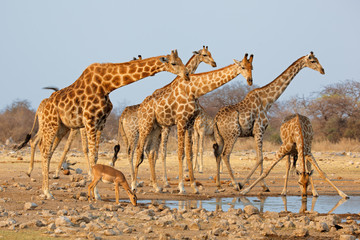 Photo sur Aluminium Girafe Giraffe herd (Giraffa camelopardalis) at a waterhole, Etosha National Park, Namibia.