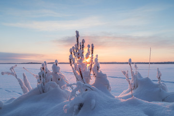 Sun rising at a frozen and snowy lake behind snowy plants in Finland in the winter.