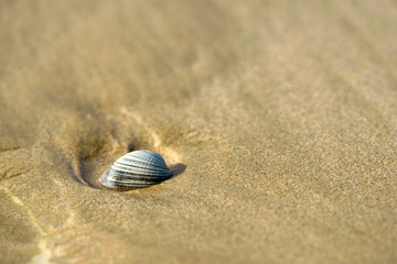 Isolated clam on sand