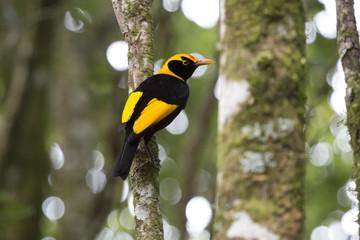 Regent Bowerbird in rainforest