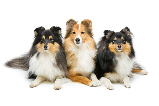 Three sheltie dogs
