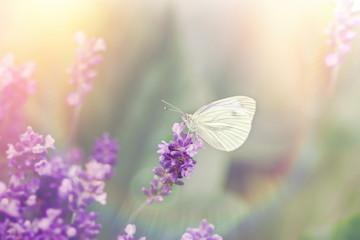 Beautiful butterfly on beautiful lavender flower - amazing, beautiful nature