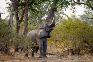 Elephant eats the young shoots of the tree. Zambia. Lower Zambezi National Park. Zambezi River. An excellent illustration.