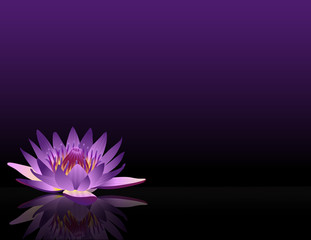 waterlilly_purple_black_bg_wide_eye_level