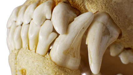 Dog skull Teeth detail